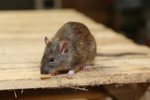 Rodent Control, Pest Control in Orpington, Chelsfield, Downe, BR6. Call Now 020 8166 9746